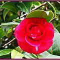 Camélia rose foncé tache blanche