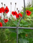 coquelicot_de_chantier___Copie