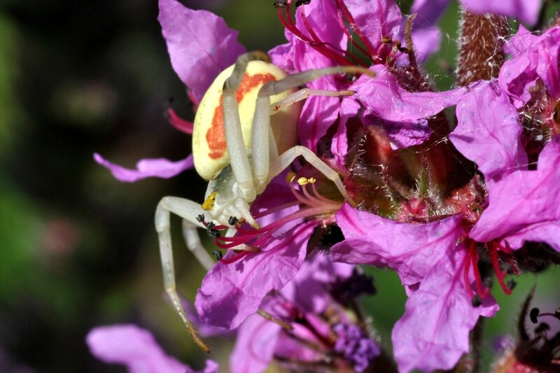 Misumena vatia - sur salicaires - Urzy - 29 juillet 2012 - 2