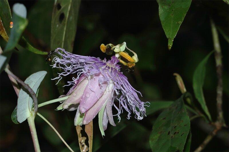 Passiflora garckei