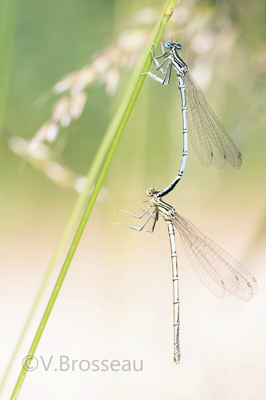 agrion15-04