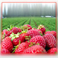 Recettes de Fraises gratuites sur votre Iphone /A Free iphone Strawberry Recipe App