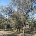 Hiver 1956 dans les oliveraies