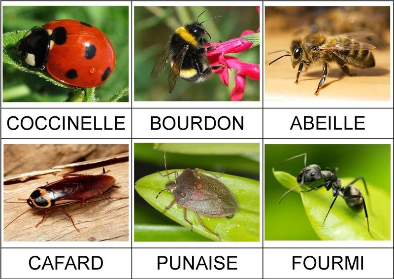 Insectes fiches