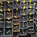 Premier repiquage des plants de tomates !