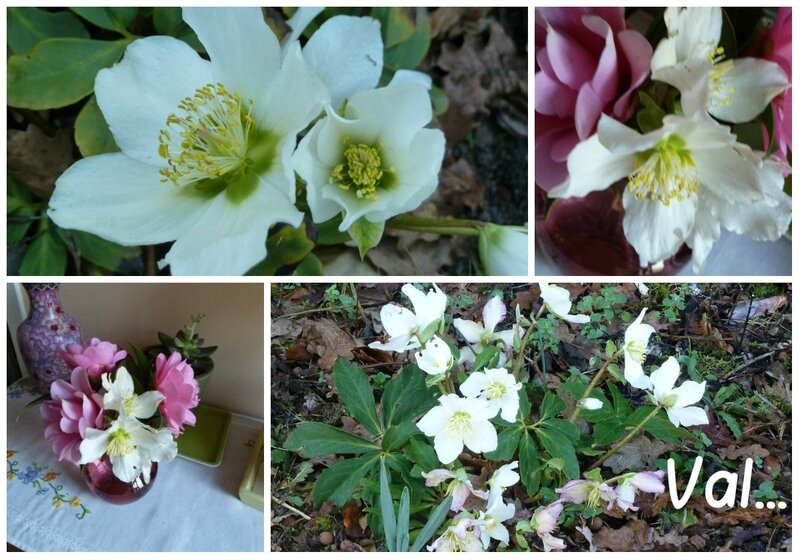 collagehellebores