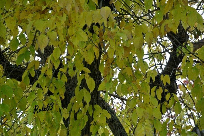 _Un bel arbre en mutation automnale Rose63