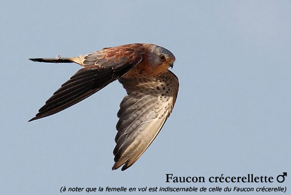 faucon_cr_cerellette