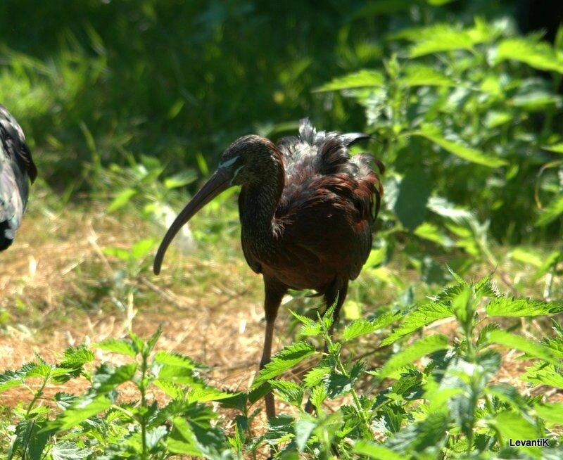 Ibis Falcinelle - Plegadis falcinellus
