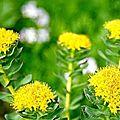 La rhodiola rosea, la plante qui donnait sa force aux viking...et soutient contre le cancer...