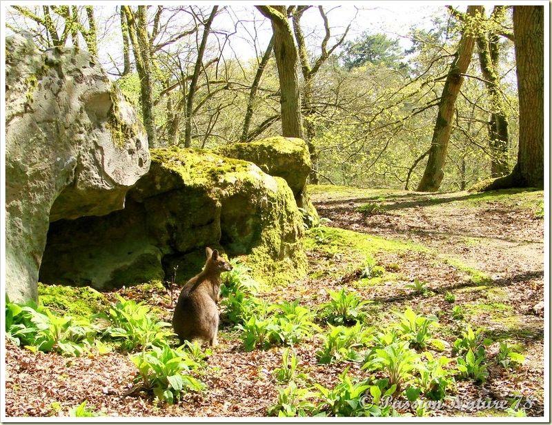 wallabies de la forêt de Rambouillet (7)