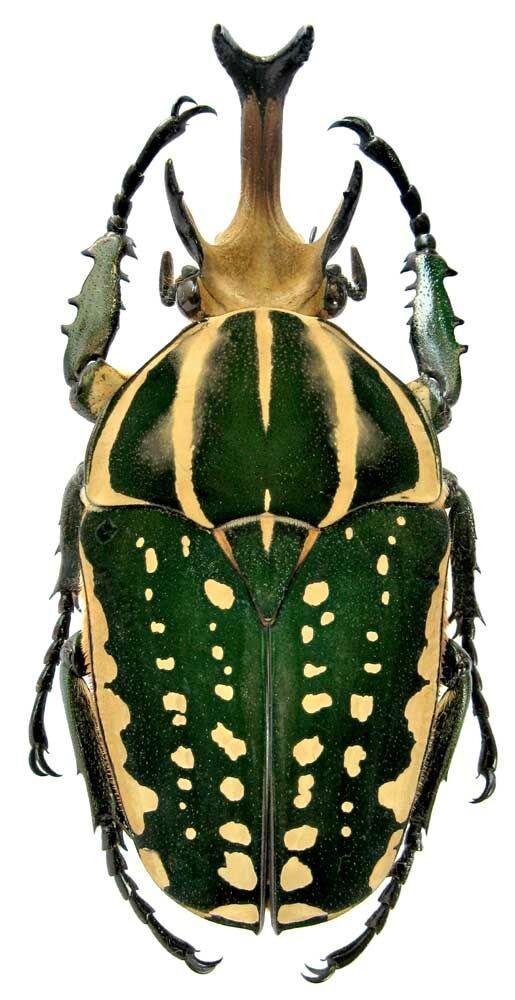 Mecynorhina polyphemus