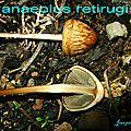 Panaeolus retirugis