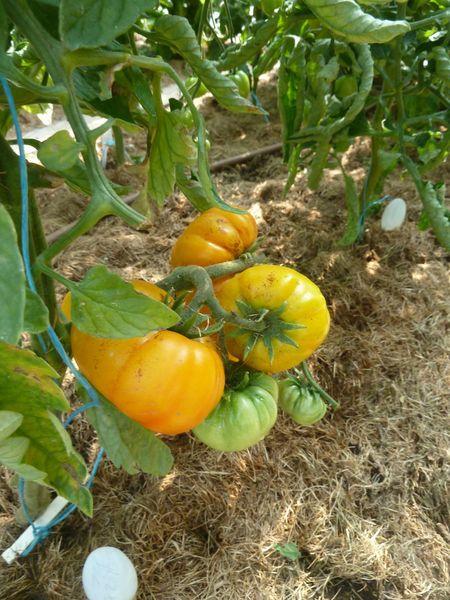 26-tomate azoychka