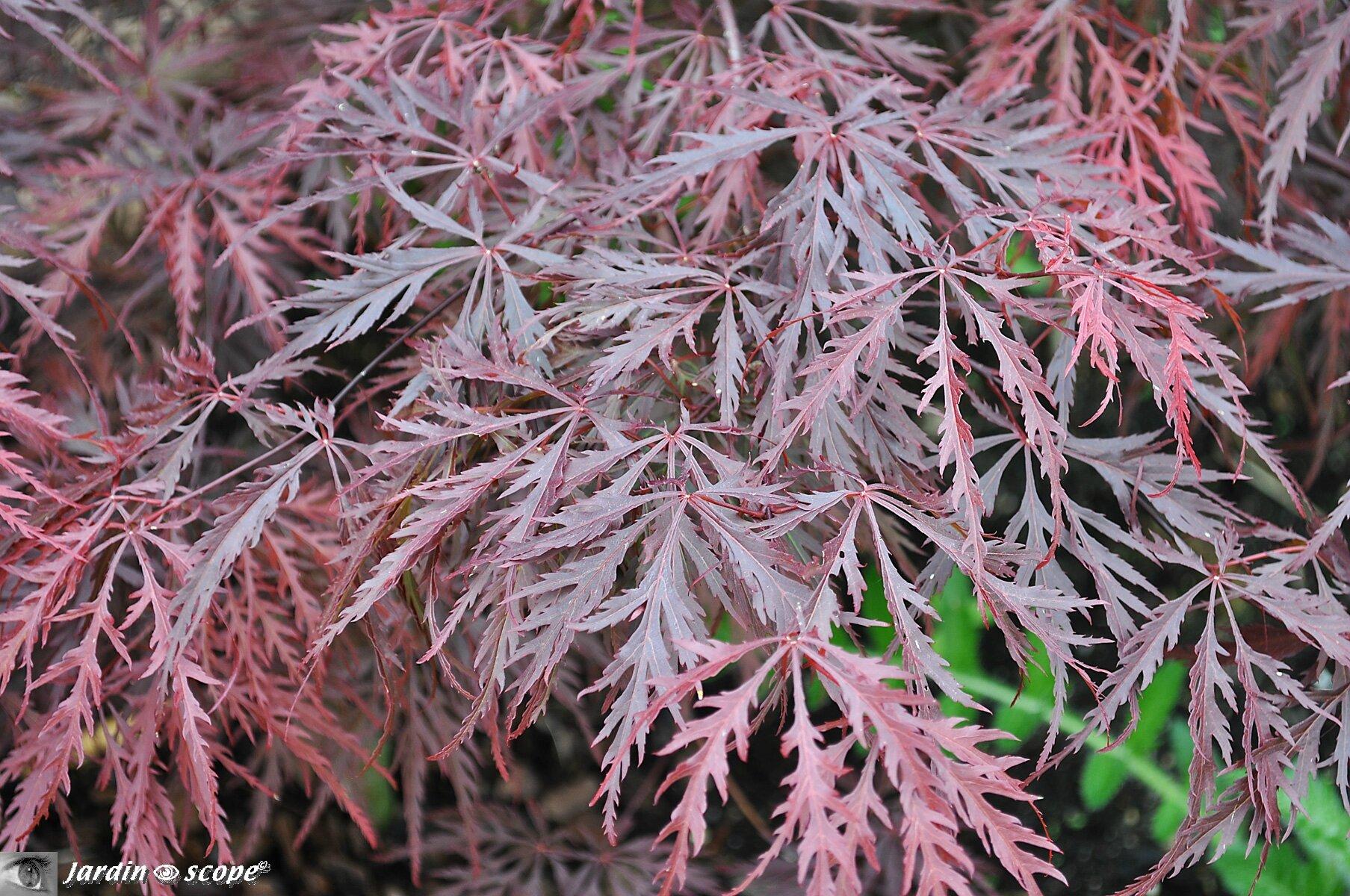 Un feuillage d coup comme de la dentelle le jardinoscope toute la flore et la faune de for Comarbuste a feuille rouge