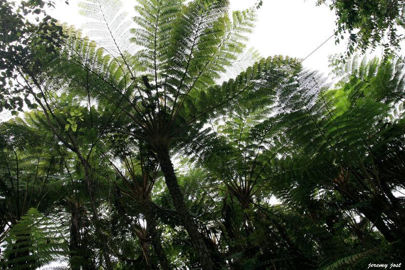 Fougeres Arborescentes