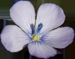 fleur_de_lin1