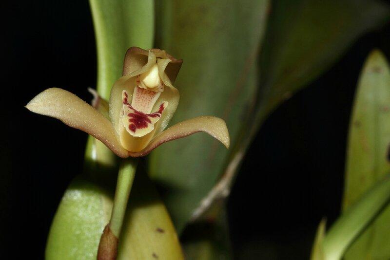 Mormolyca rufescens - Jardin Botanique de Guyane