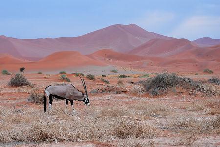 Gemsbok__d_sert_du_Namib__Namibie__9_