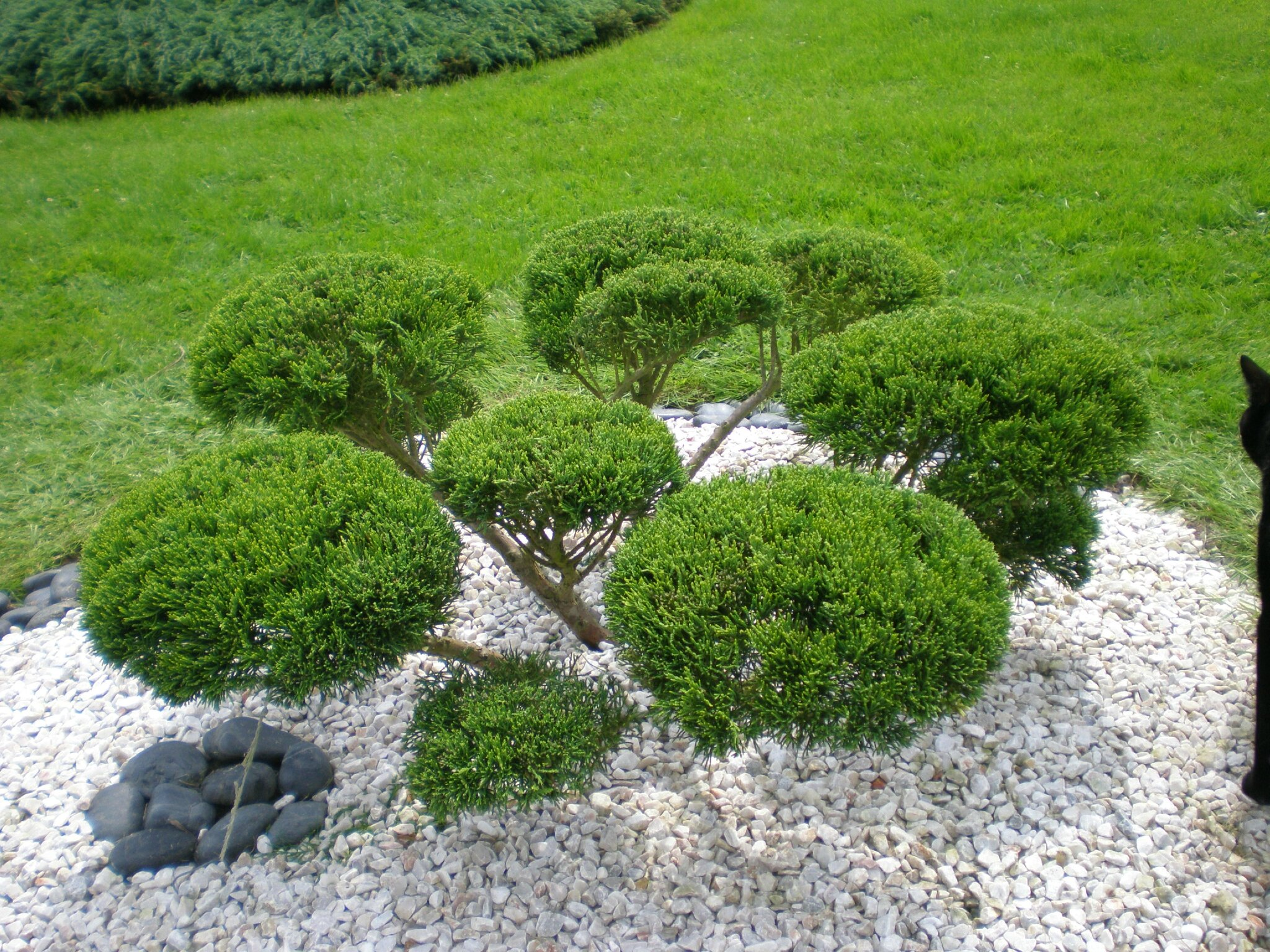 taille du niwaki de juniperus et des buis boutures de reves le jardin de sophie. Black Bedroom Furniture Sets. Home Design Ideas