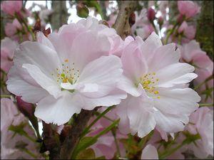 fleurs_cerisiers_du_japon_2