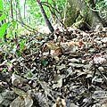 Cèpe noir zoné de cuivre (au 3ème jour).