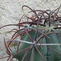 Ferocactus emeroyi