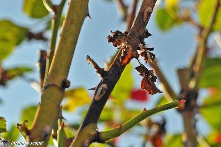 Chancre-des-rosiers