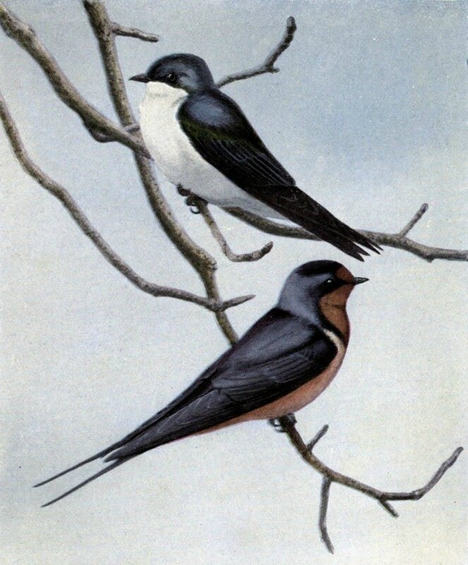 Illustration by Louis Agassiz Fuertes of a Tree Swallow