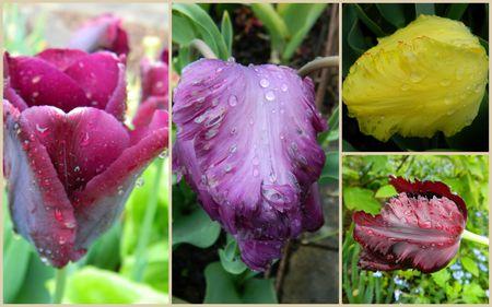 tulipes1