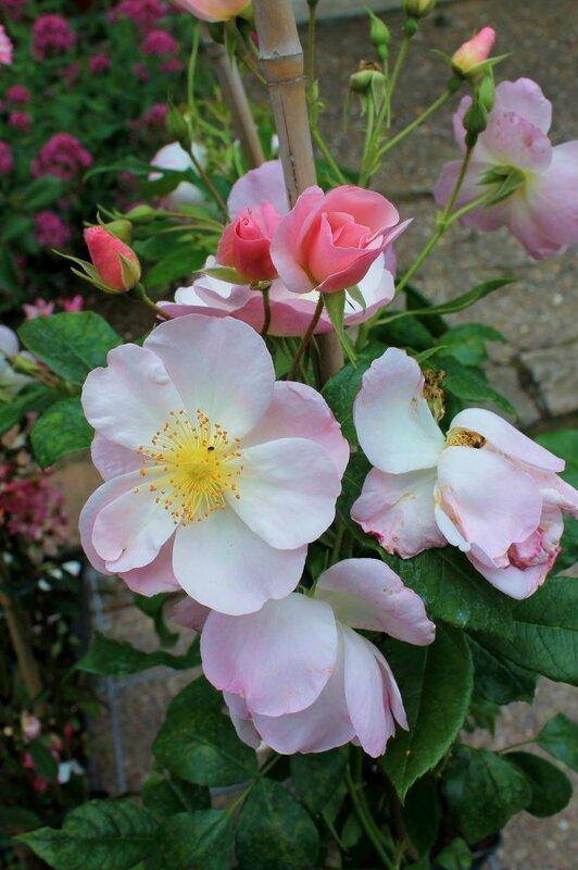 La f te des roses gerberoy la m re de la mule - Fete de la rose gerberoy ...