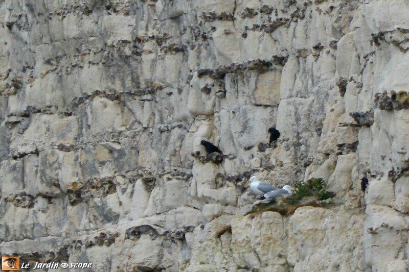 Choucas-et-goélands-sur-une-falaise