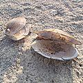 bulgarie - ruse : coquillages vides dans le bras du danube asséché