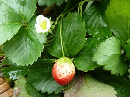 22-fraises (1)