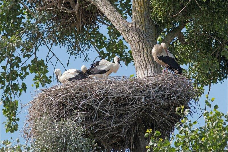 MS oiseau cigognes nid 140617