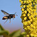 Frelon asiatique - Vespa velutina - Famille des Vespidae