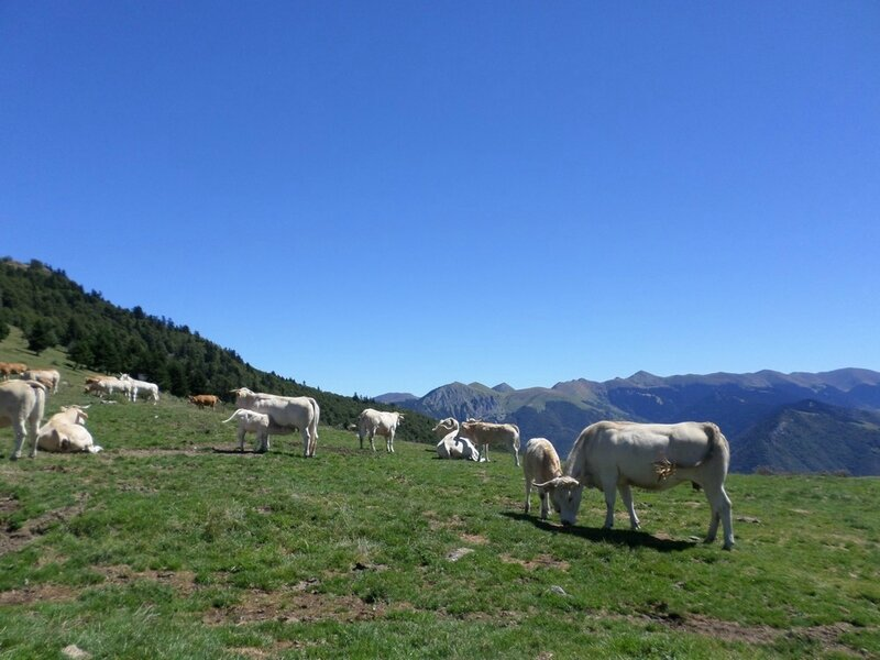 vaches-pyrenees