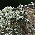 Lichens fruticuleux Ramalina farinacea