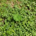 Trefle a quatre feuilles