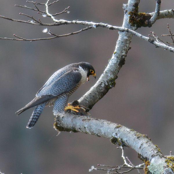 faucon pèlerin10