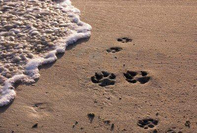 1148717-patte-de-chien-sur-la-plage-des-tirages-au-coucher-du-soleil