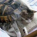 Minou le chat tortue