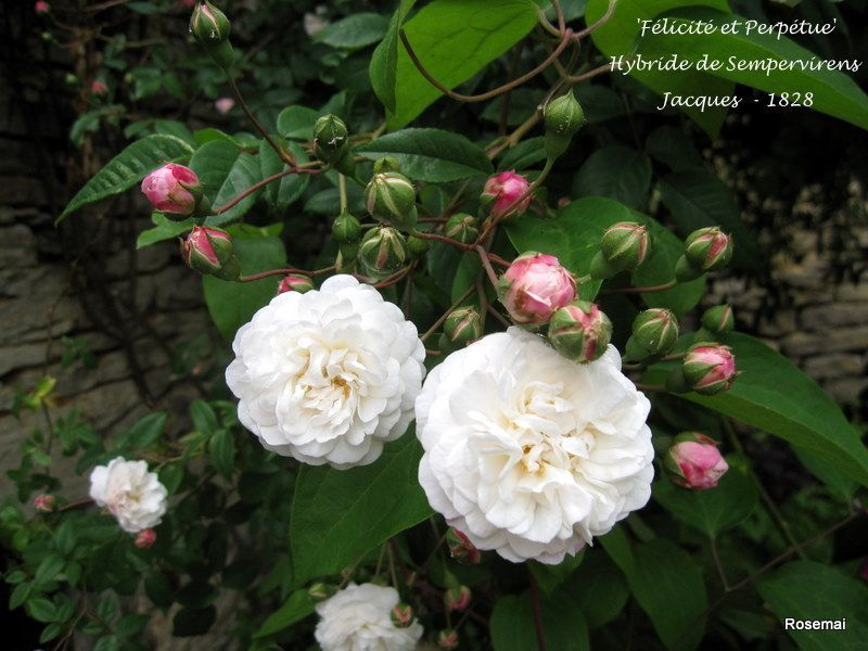 Liste Des Fleurs Blanches Chou Fleur Maison Retraite Champfleuri