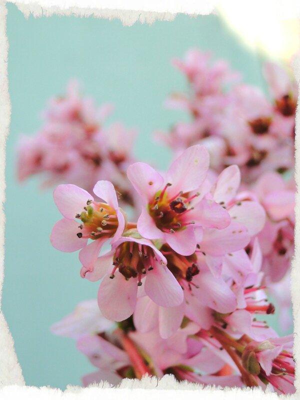 Bergenia cordifolia photos fleurs valerie albertosi fleurs roses
