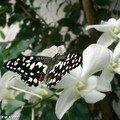 Papilio demoleus • Papilionidae • Philippines