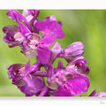 Orchis Morio