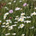 2009 06 04 Fleurs des champs (5)