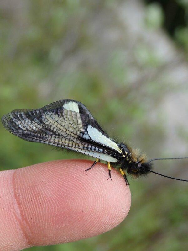 Ascalaphe blanc (3)