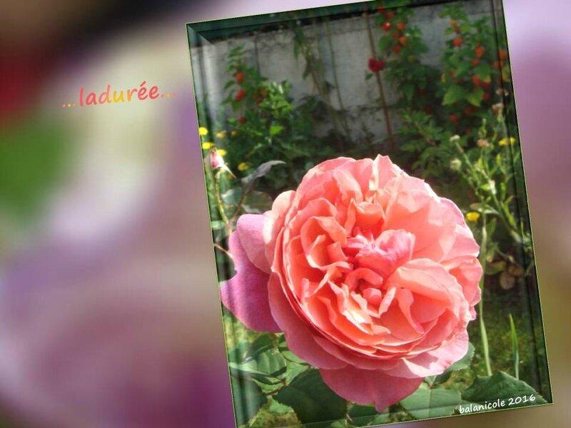 balanicole_2016_11_les nouveaux rosiers de balanicole_L comme ladurée_14
