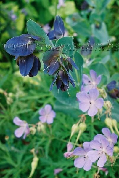 Cerinthe major Purpuracens et Geranium brookside